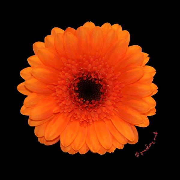 Orange gerbera design on black background by Gooseberry Pink