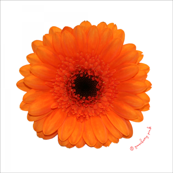 Orange gerbera design on white background by Gooseberry pink