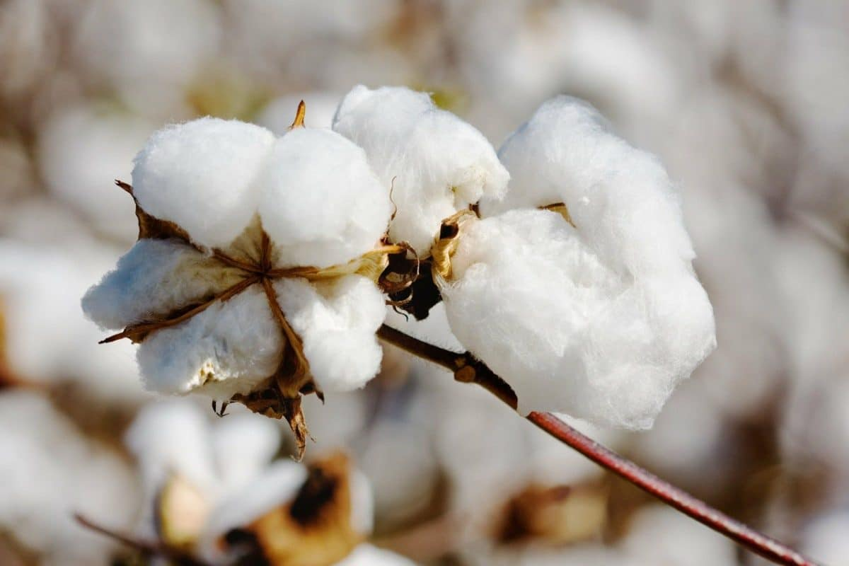 picture of organic cotton plant in a kinder world