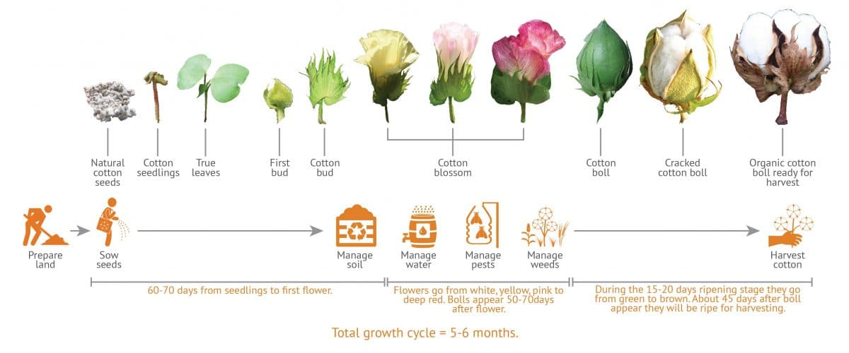 The growth cycle of organic cotton