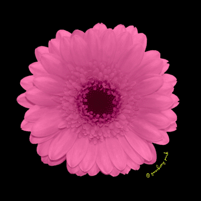 Pink gerbera design on black background by Gooseberry Pink