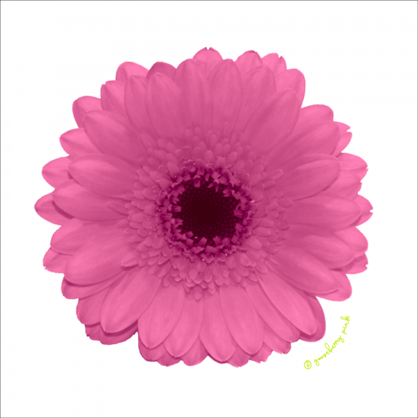 Pink gerbera design on white background by Gooseberry Pink