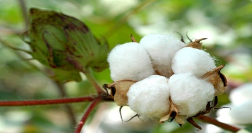 picture of organic cotton plant